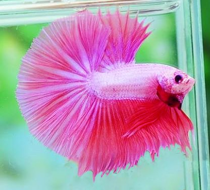 pink Halfmoon betta
