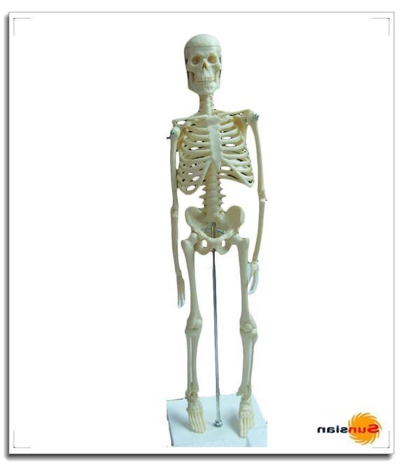 las 25 mejores ideas sobre human skeleton model en pinterest y más, Skeleton