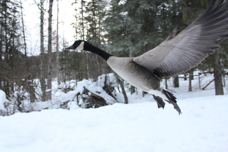 canada goose  By Laura Kelsey - wordsmore.com