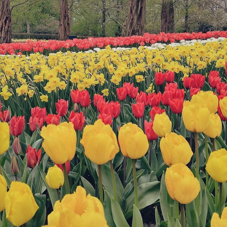 Vocês já enjoaram de Keukenhof no Instagram ou dá para seguir postando de vez em quando? . . . #holanda #holland #netherlands #ThisIsHolland #Keukenhof #flowers #nature #spring #tulips #tulipas #natureza