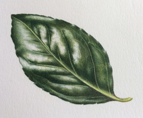 Drawing a shiny leaf by Ann Swan