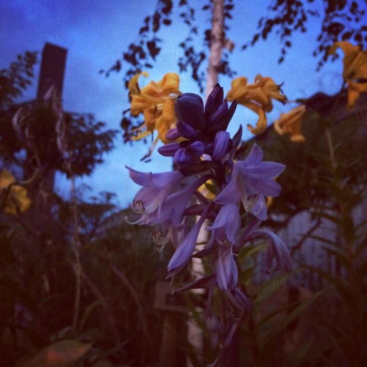 at dusk #flowers #dusk #tigerlillies #dublin #ireland #beautiful