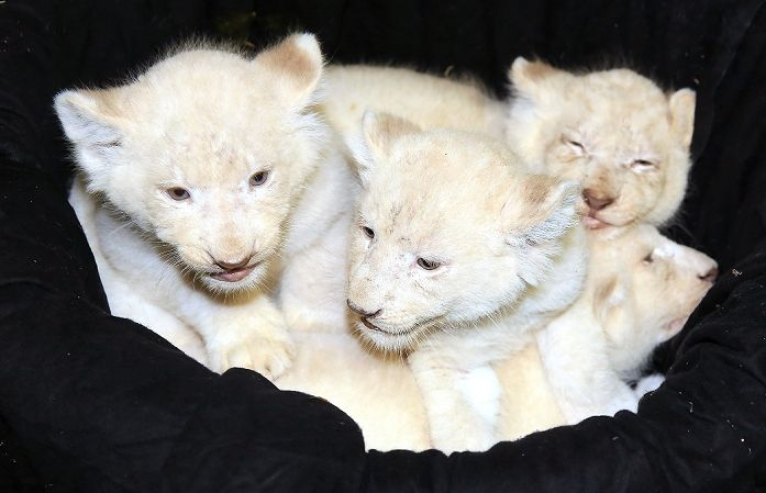 【写真特集】ホワイトライオンの赤ちゃん誕生 ドイツ・マクデブルクの動物園