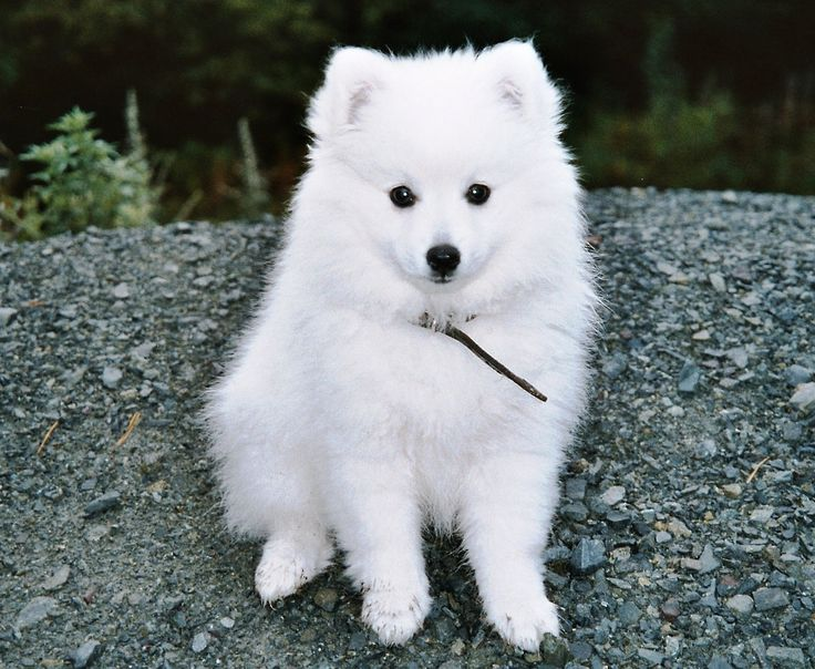 American Eskimo Dog. If I had a small dog, this might be it!