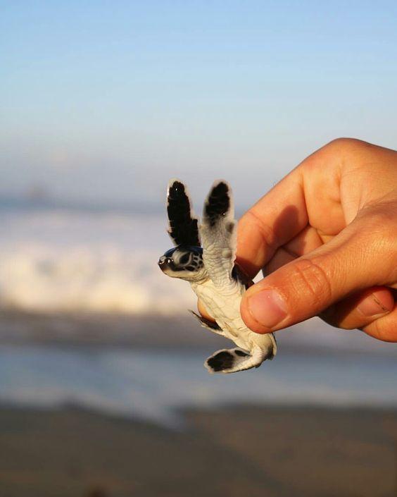 20 of the Cutest Child Sea Turtles #Turtle #Tortoise #BabySeaTurtle #TurtleLovers…