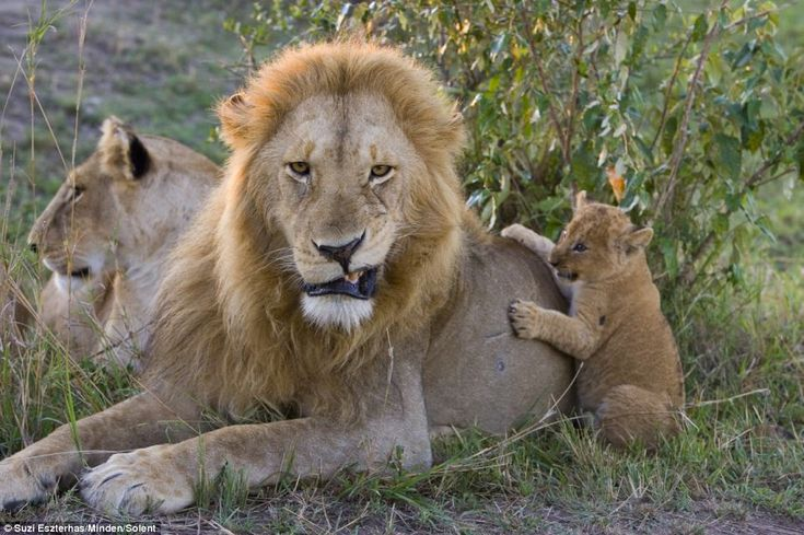 Grrrr......dare to touch whats mineFirst Time, Animal Kingdom,  King Of Beasts, Animal Track,  Panthera Leo, Cubs Meeting, Lion Cubs, Fathers And Sons, Animal Funny