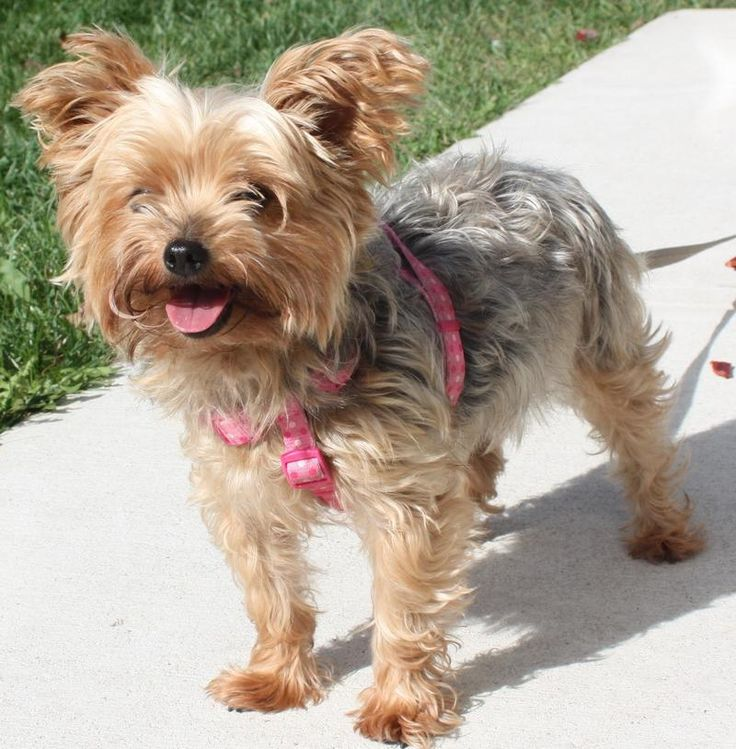 yorkshire terrier for adoption 86 best adoptable yorkies images on pinterest adoption 7534