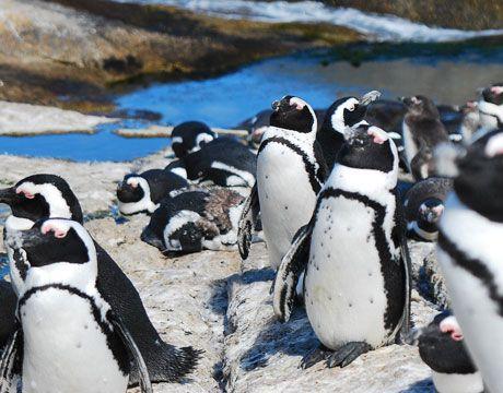 Endangered: Cape Penguin