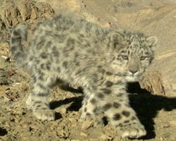 Secure the Endangered Snow Leopard's Habitat Now! - The Petition Site
