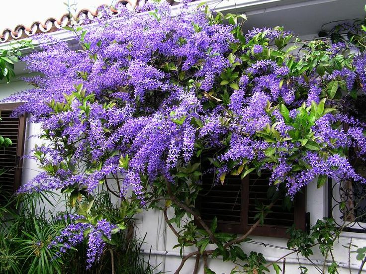 petrea volubilis - also known as Queen's Wreath, Purple Wreath or Sandpaper Vine. It's sometimes called a tropical wisteria.