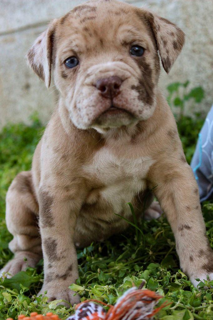 Mr Murphy Brindle English Bulldog English Bulldog Puppies
