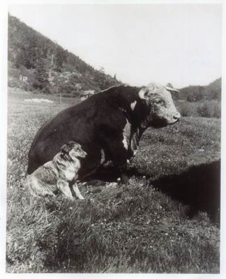 Vintage photo of sitting cow and dog