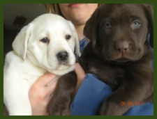 Yellow and Chocolate Labrador puppies