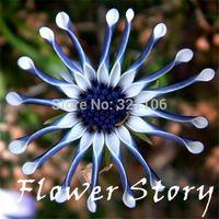 Envío gratis 200 azul margarita plantas semillas de flores ornamentales exóticas de flores
