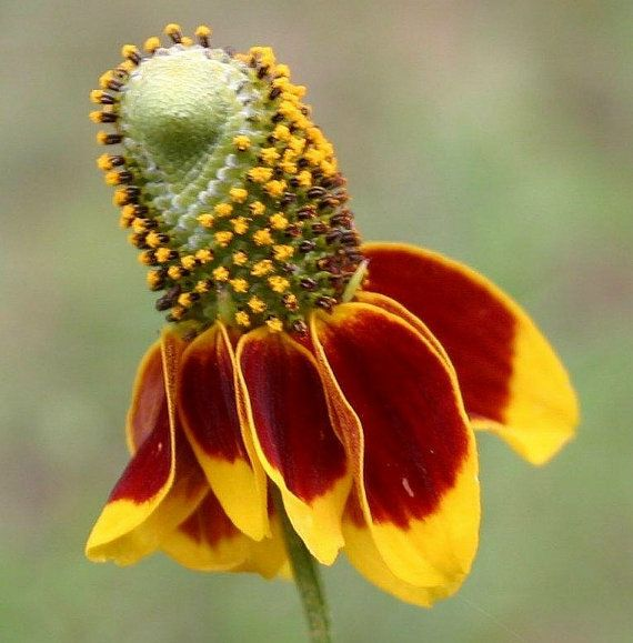 Heirloom 1200 Seeds Prairie coneflower Ratibida columnifera Mexican Hat Perennials Flower Bulk Seeds S050, $1.79