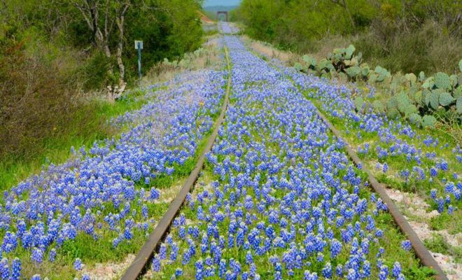 5 GREAT PLACES TO SEE BLUEBONNETS IN TEXAS Bluebonnets have already begun to bloom in many places. Are you trying to decide which wildflower-enveloped town to visit? Consider these locations.