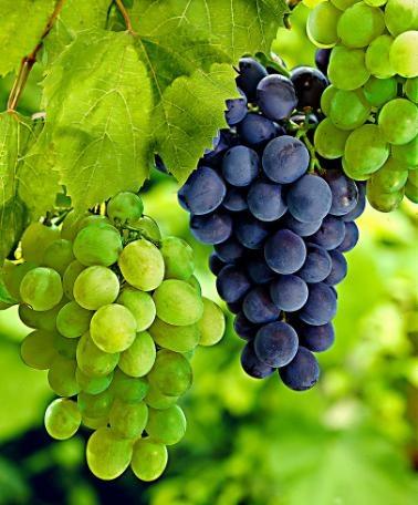 Vitis vinifera 'Palatina' + 'Muscat Blue'