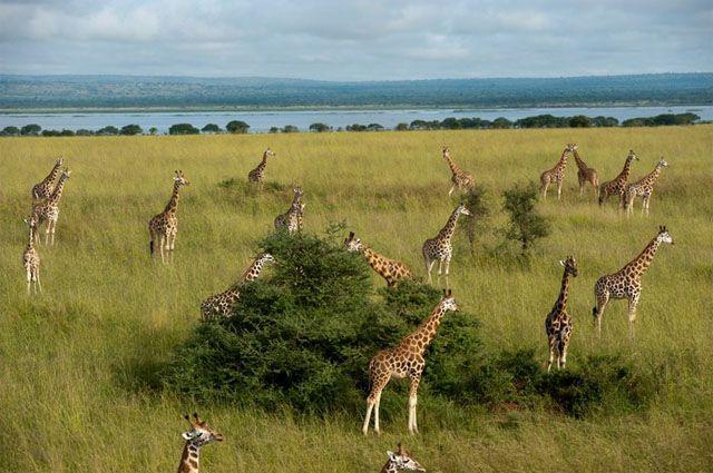 Jirafas Murchison Falls National Park