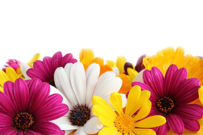 Colorful border made of spring daisies isolated on white background.