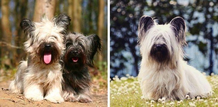 15 perritos de razas terrier que probablemente no conoces pero que te enamorarán al instante