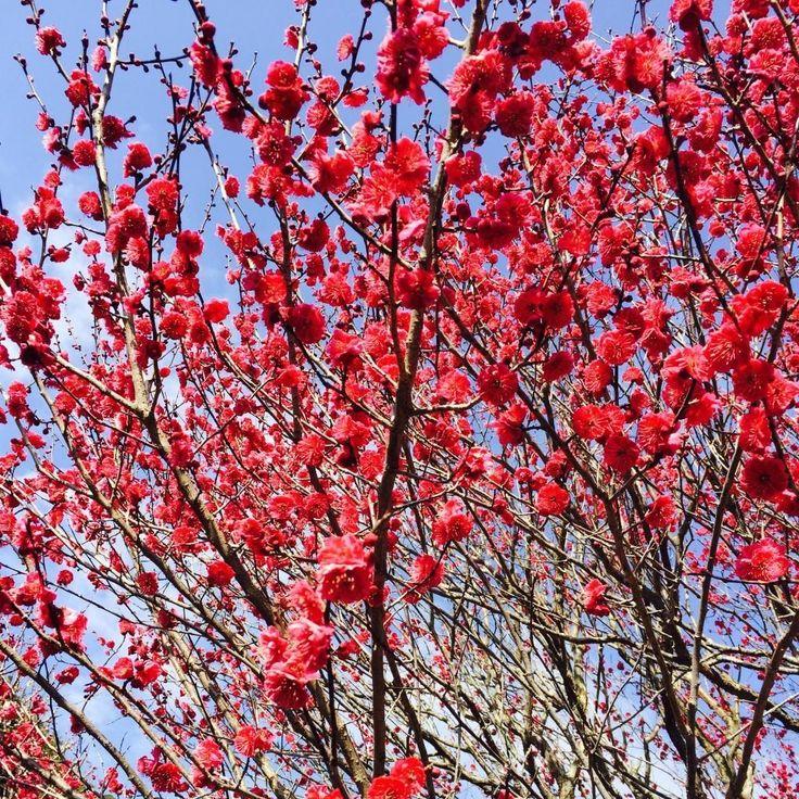 日本一早く咲く梅として有名な「熱海梅園」。熱海の観光スポット!