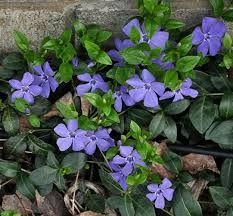 (Gravmyrt)Niewiele jest roślin, które poradzą sobie nawet w najciemniejszych zakątkach ogrodu. Jedną z nich jest barwinek większy  oraz inne gatunki barwinka zaliczane do rodzaju Vinca. Te niewielkie krzewinki o płożącym pokroju, doskonale wypełnią mniej dostępne zakątki, wprowadzając ład i porządek. Zimozielone liście oraz barwne kwiaty to jedne z wielu zalet tych  wytrzymałych krzewinek.