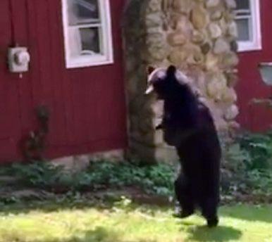 【動画】前脚を失ったクマ、二足歩行で元気