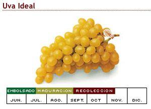 Уход за виноградной лозы очень изысканно. В долине Виналопо в Аликанте (Испания) культивируется 190 000 000 килограммов.Виноград созревает в бумажный пакет.Летом плоды едят в зимний период.