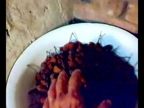 1. Собрать большое количество груш во все имеющиеся металлические тазы, противни, жестяные листы! Это делается для экономии дров в БАНЕ! 2. Насыпать груши равномерным слоем во все ёмкости в бане над печкой, на лавках как можно выше и ближе к печи! 3. При слабом горении печи (я закладываю толстые пеньки) в течение суток подвяливать груши. Они станут КОРИЧНЕВЫМИ! 4. Во вторые сутки досушить окончательно груши над печью! Груши станут твёрдыми и могут храниться 2 года и более.
