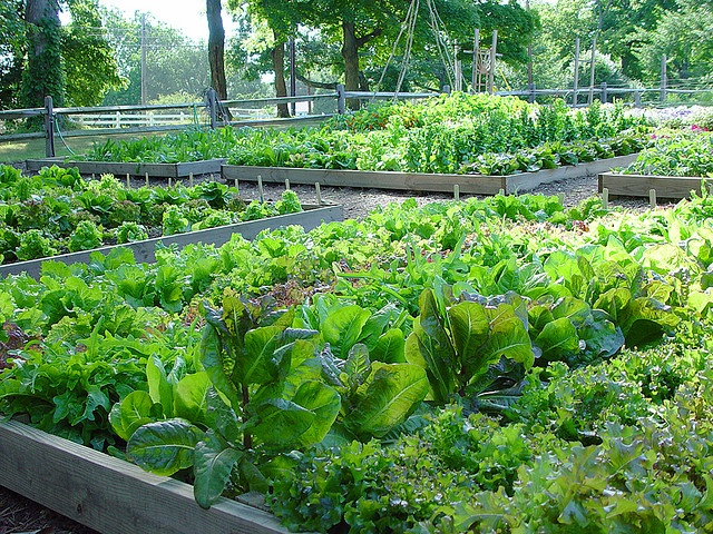 Fordhook farm at Burpee GardensGardens Kitchens, Gardens Ideas, Edible Gardens, Burpees Gardens, Burp Gardens, Vegetables Gardens, Kitchens Gardens, Gardens Goodies, Fordhook Farms