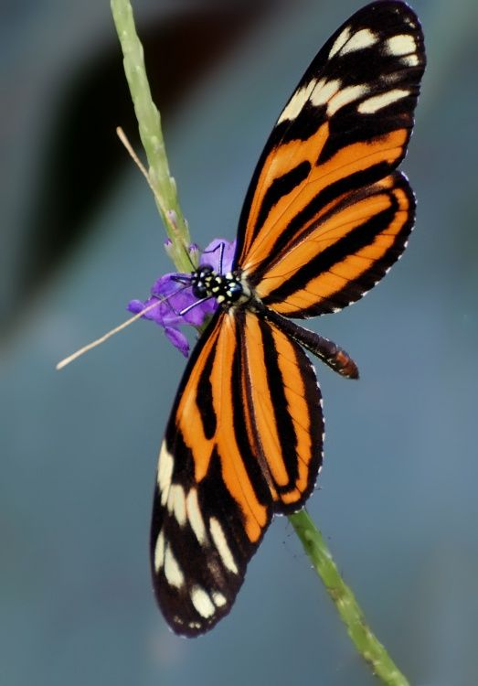 ~~Heliconius ismenius butterfly by Milesi~~