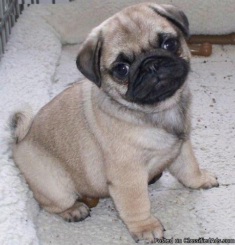 *^*Adorable Healthy Pugs Puppies*^* - Price: 500 - This is the first UNITED STATES, Chicago