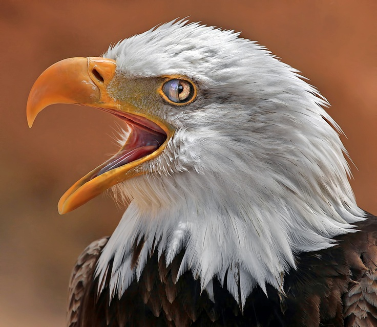 Blinking Bald Eagle by Klaus Wiese