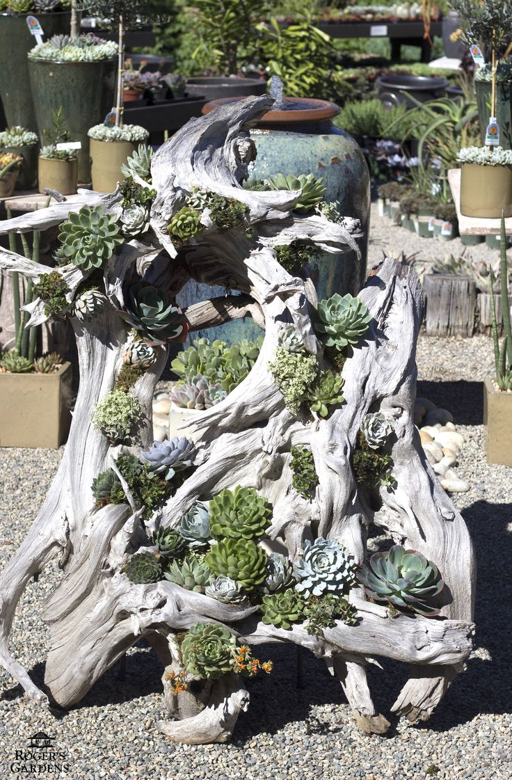 Baumwurzel mit Hauswurzpflanzen