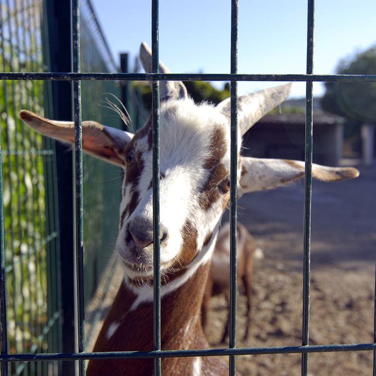 Les Chèvres de La Cabro d'Or #cabrodor #baumaniere #relaischateaux