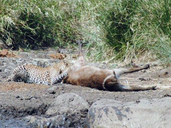 Leopard attacking waterbuck