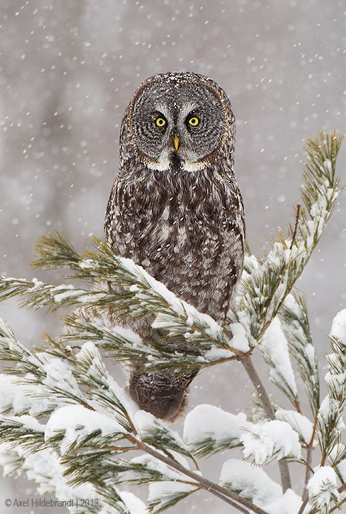Photo Great Gray Owl in Snow by Axel Hildebrandt on 500px