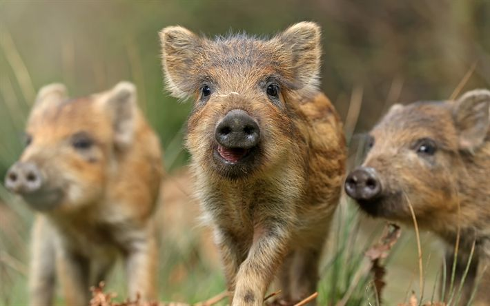 Download wallpapers wild boars, small animals, forest inhabitants, wildlife