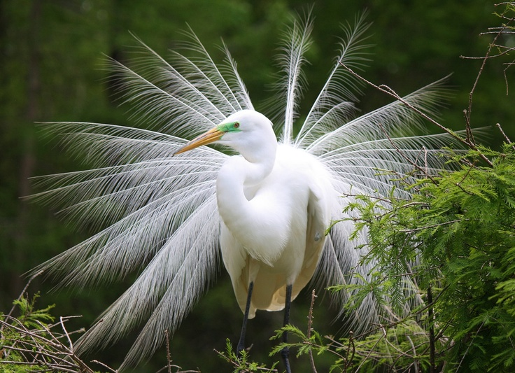 """symbolism in the white heron Locals herald the graceful white bird as a symbol of good luck shirasagi-no mai,  which translates to """"white heron dance,"""" is a millennium-old."""