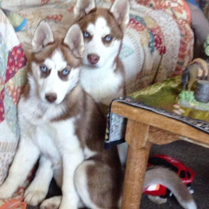 Siberian Husky And Shiba Inu Dog Breeder Subs 45430 In Gladstone