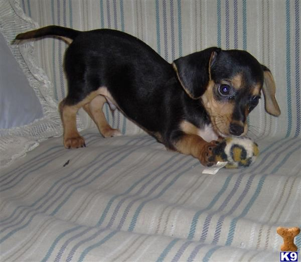 80 Best Images About The Best Dog The Chiweenie On