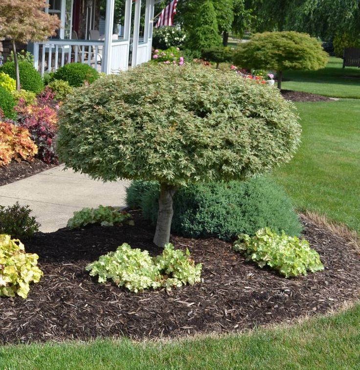 This Is A Butterfly Japanese Maple An Upright Growing