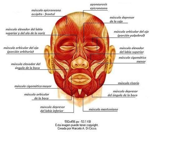 musculos del rostro