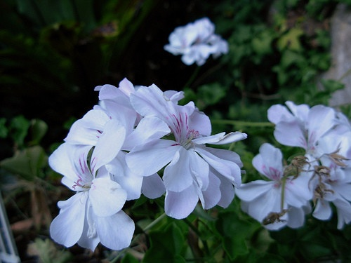 White geraniums appear to hang in mid air in the moon garden.