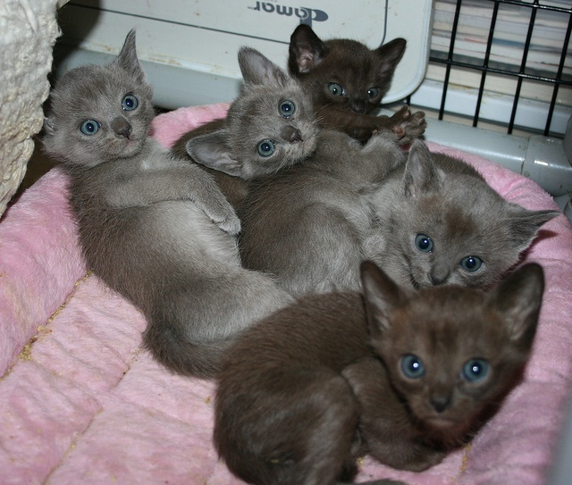 Cute kitties. I want em!! -- Oh my lord.  Blue and Sable Burmese kittens    By alasam @ Flickr