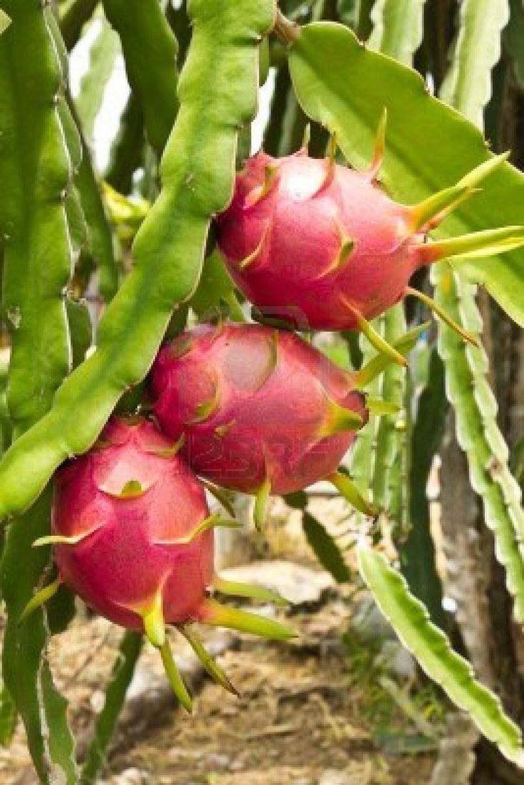 Dragon Fruit. Love the creamy white flesh.