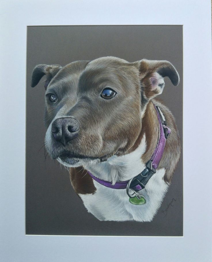 Staffordshire bull terrier in soft pastels Dog portrait by Katie Bowman www.personalartwork.co.uk