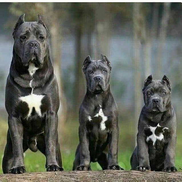 Americanbully Bullbreedsofinstagram Pitbull Nfl Pitbullsofinstagram Cute Puppy Puppies Dog Bullymagazine Bulliesofig Insta Cane Corso Corso Dog Cane Corso Dog