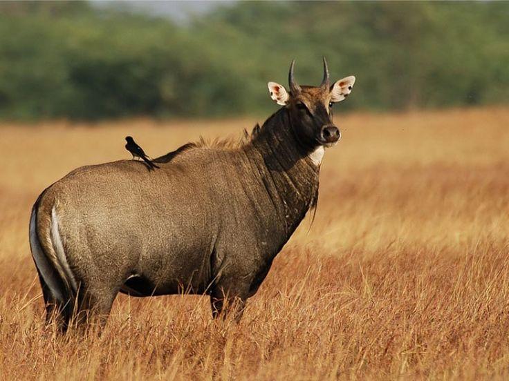 Dajipur Bison Sanctuary - in Kolhapur, Maharashtra, India
