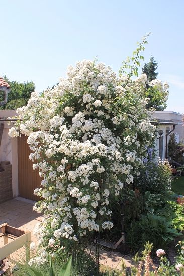257 best White climbers images on Pinterest | Plants, Climber plants ...